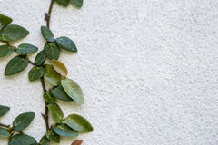 Closeup green plant growing on white cement wall Royalty Free Stock Photo