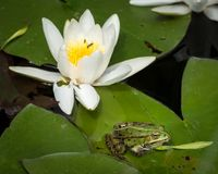 A green pool frog sitting on a leaf of a water lily royalty free stock photography