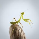 Closeup Green Praying Mantis on Stick Stock Photography