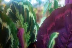 Close up of foliage of the Maranta leuconeura Stock Image