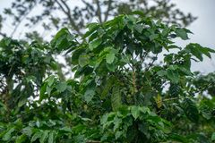 Closeup of a green raw coffee crop with green berries. Closeup of a green raw coffee crop with green berries Royalty Free Stock Photography