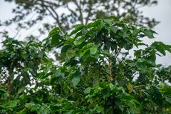 Closeup of a green raw coffee crop with green berries. Closeup of a green raw coffee crop with green berries Stock Photos