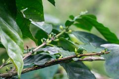 Closeup of a green raw coffee crop with green berries. Closeup of a green raw coffee crop with green berries Stock Image