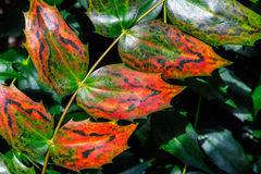 Closeup of Green and Red English Holly Leaves Stock Images