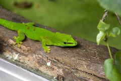 Madagascar day gecko. Closeup of this green reptile Stock Image