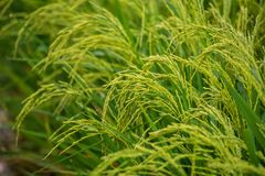 Closeup of green rice field stock photo