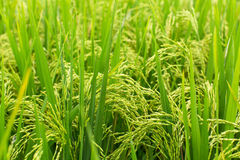 Closeup of green rice field. Nature. Stock Photo