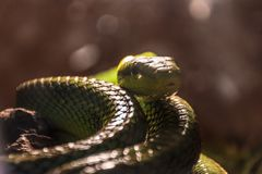Closeup of a green scaly snake coiled up and lurking, with a nic Stock Image