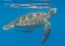 Closeup of a Green sea turtle Chelonia mydas and remora fish swimming to the surface to breath air. Closeup of a Green sea turtle Chelonia mydas swimming to the stock photo