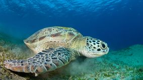 Closeup of a green sea turtle royalty free stock image