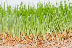 Closeup green spring grass with roots Stock Images