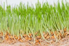 Closeup green spring grass with roots. Closeup green fresh spring grass with roots and seeds Stock Images