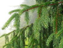 Closeup of green spruce branches in rain on background mist Royalty Free Stock Photo