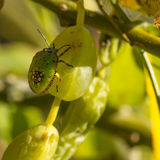 Closeup of green stink bug nymph Stock Photography