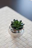 Closeup of green succulent. Close up of green small succulent in silver pot on white woven mat with blurred blackground Royalty Free Stock Photos