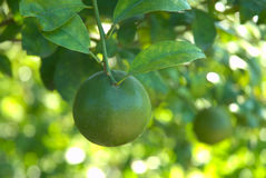 Green tangerine at garden Royalty Free Stock Photography