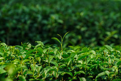 Closeup green tea fresh leaves in plantation Royalty Free Stock Photo