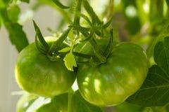 Closeup of green tomatoes Royalty Free Stock Photo