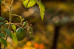 Closeup green tomatoes growing in greenhouse blurry background royalty free stock photos
