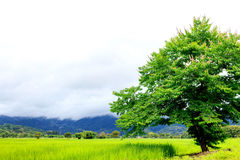 Closeup green tree,. Beautiful view rice field and mountain with mist. soft-focus and over light in the background Royalty Free Stock Photography