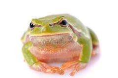 Closeup green tree frog Royalty Free Stock Photo