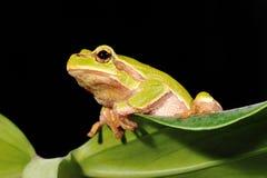 Closeup green tree frog Stock Photo