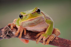 Closeup green tree frog Royalty Free Stock Images