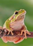 Closeup green tree frog Stock Photos
