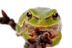 Closeup green tree frog Stock Photo