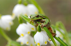 Closeup green tree frog on flower Stock Image
