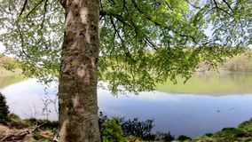 Closeup of a green tree on the shore of a lake. Camera pan movement stock video footage