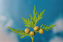 Closeup of green twig of thuja the cypress family with 4 seed he Stock Image
