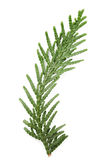 Closeup of green twig of thuja the cypress family on white. Background Royalty Free Stock Images