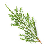 Closeup of green twig of thuja the cypress family on white. Background Royalty Free Stock Photo