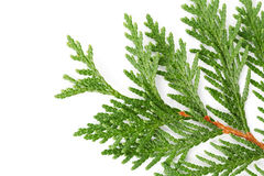Closeup of green twig of thuja the cypress family on white Stock Image