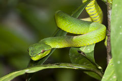 Closeup of Emerald Green Viper Snake Stock Photo
