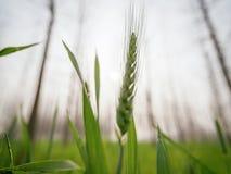 Closeup of green wheat crop royalty free stock photo