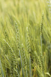 Closeup of green wheat ear on the field. In summertime royalty free stock images