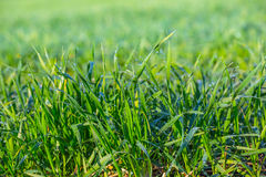 Closeup green wheat sprouts Royalty Free Stock Photography