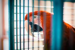 Green-Winged Red Macaw Parrot in Cage stock images
