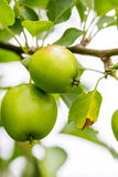A Closeup of Green and Yellow Apples Royalty Free Stock Image