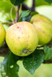 A Closeup of Green and Yellow Apples Royalty Free Stock Photo
