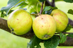 A Closeup of Green and Yellow Apples Royalty Free Stock Images
