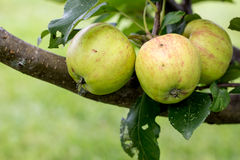 A Closeup of Green and Yellow Apples Stock Image