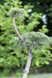 Closeup of green young daring bonsai tree on a soft background. stock photo