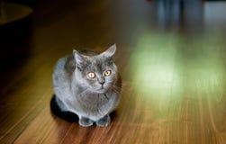 Closeup of grey British cat. Royalty Free Stock Photography