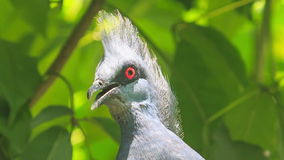 Closeup Grey Dove Head with Red Eye Looks Around. Against green leaves in park stock video footage
