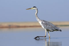 Closeup of Grey Heron walking at shallow water Stock Photography