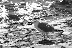Closeup of a grey-white lonely seagull. Walking by the surf line Stock Photo