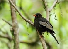 Closeup of Grey-winged blackbird Stock Photo